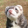 Avatar of iFerrets